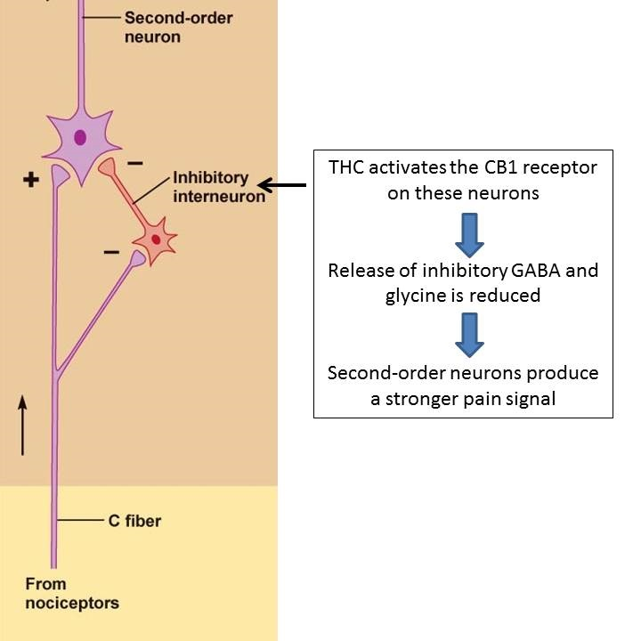 Interneuron with THC cannabinoid pain