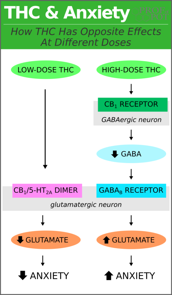 Mechanisms of THC reducing and increasing anxiety through GABA and glutamate